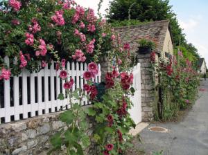 Шток-роза, выращивание из семян