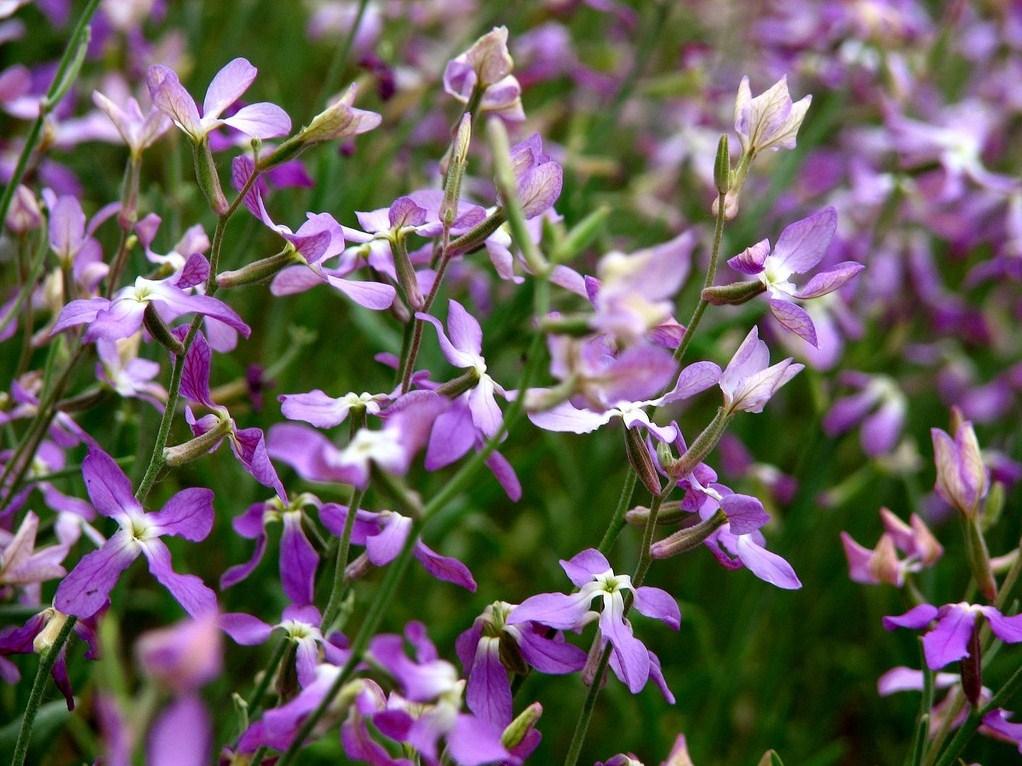 Маттиола цветы выращивание