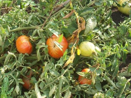 pochemu-zhelteyut-listya-u-pomidor-v-teplice-i-kak-s-etim-borotsya