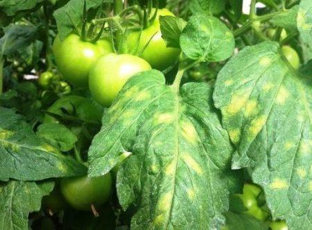 pochemu-zhelteyut-listya-u-pomidor-i-kak-s-etim-borotsya