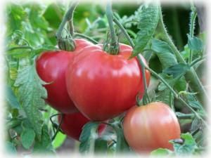 tomat-mazarini-otzyvy-foto
